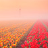 Foggy Tulip Fields