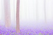 Foggy Bluebell Forest