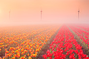 Foggy Tulip Fields II
